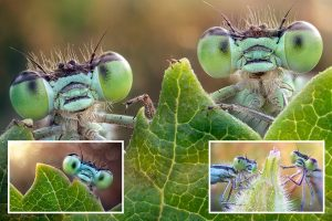 Pair of damselflies show off their bulging green eyes in stunning close-up snaps