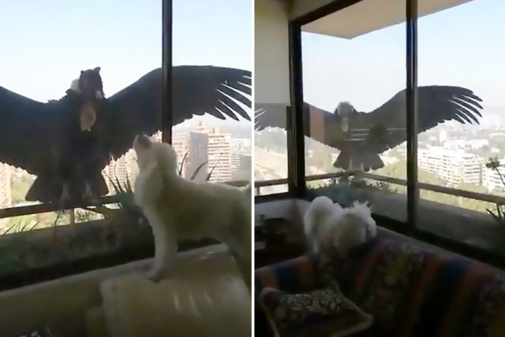 Terrifying moment huge birds of prey eye up three pet poodles through apartment window