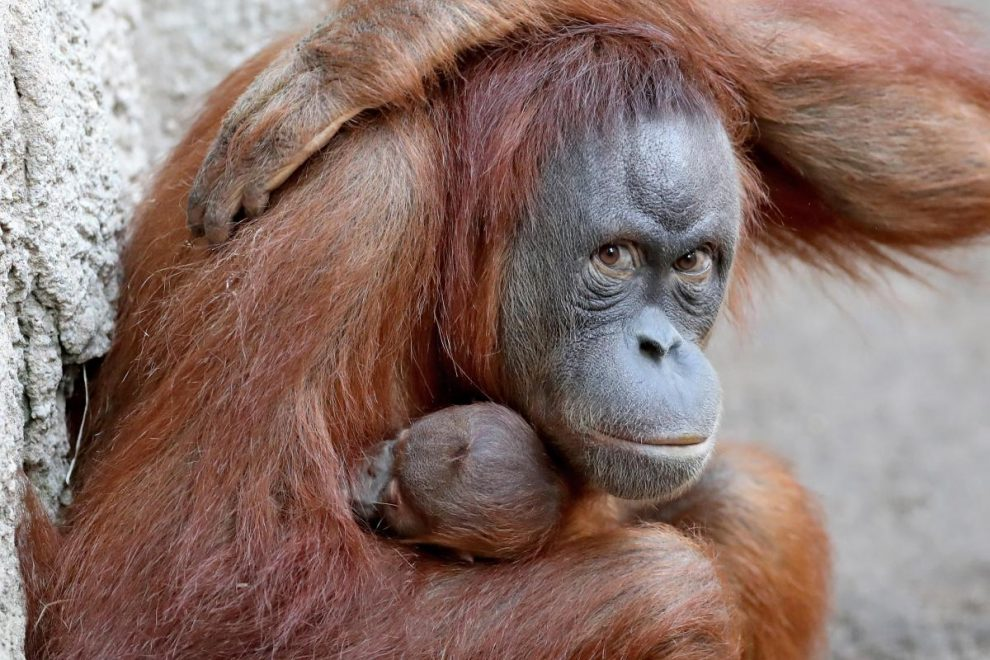 Adorable baby orangutan may have died of coronavirus at zoo, PETA claims… but keepers insist it's impossible