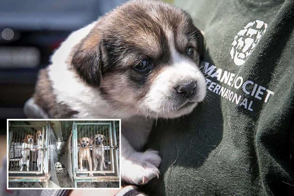 Dogs destined to be EATEN in South Korea are finally saved after months in cages as coronavirus delayed their rescue