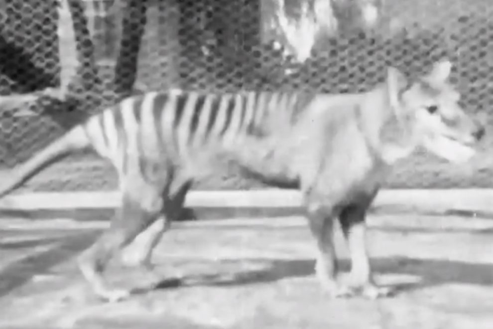 Newly-discovered footage shows the last Tasmanian tiger prowling around its cage in 1935