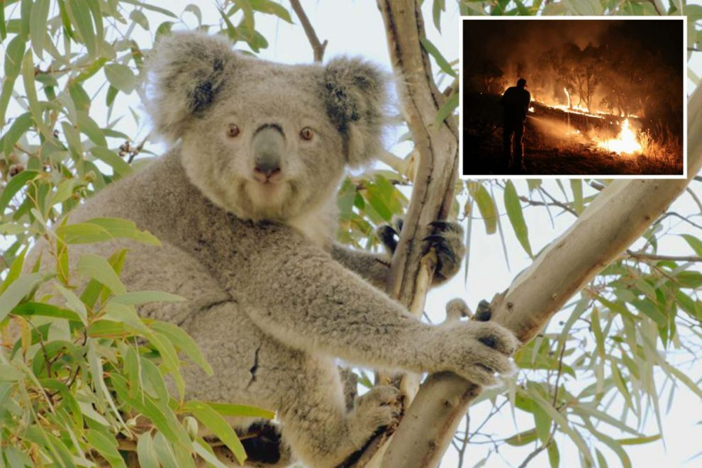 Koalas will be EXTINCT in areas of Australia within 30 years as land they live on shrinks by a horrifying 81%