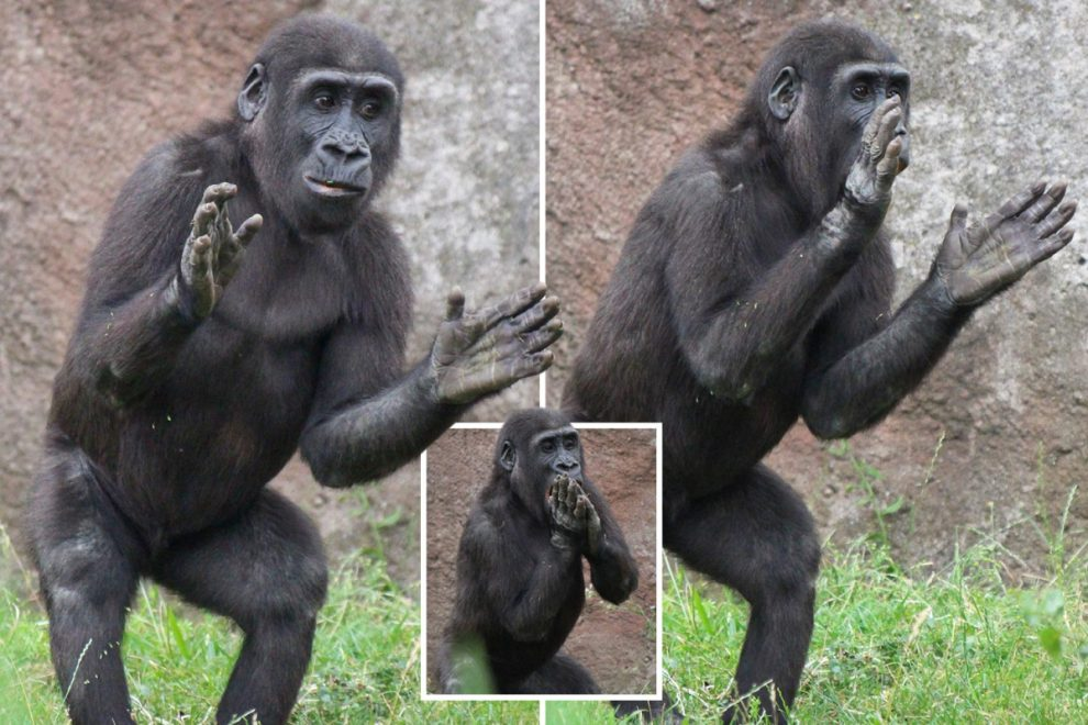 Adorable ape stuns zoo visitors by clapping for them as they arrive to see him