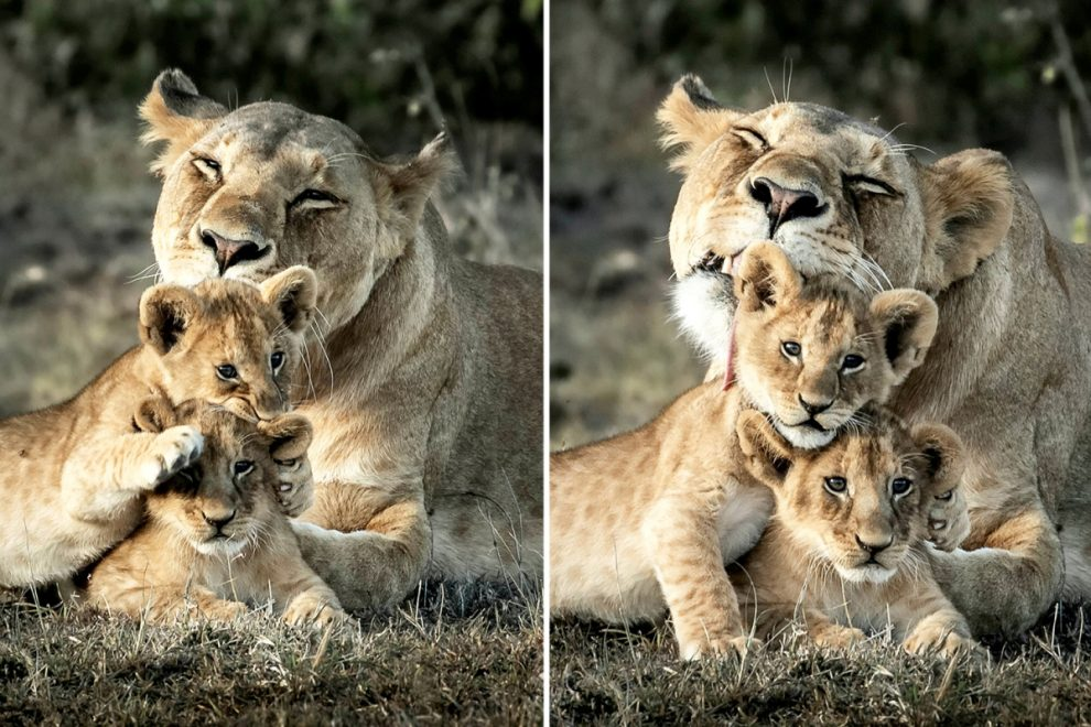 Fearsome lioness shows she's really a soft pussycat with her two young cubs