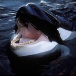 Killer whales are 'ripping open' great white sharks to eat their livers, hearts and TESTICLES